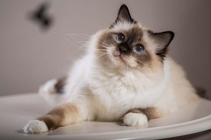 Бирманская кошка для ребенка