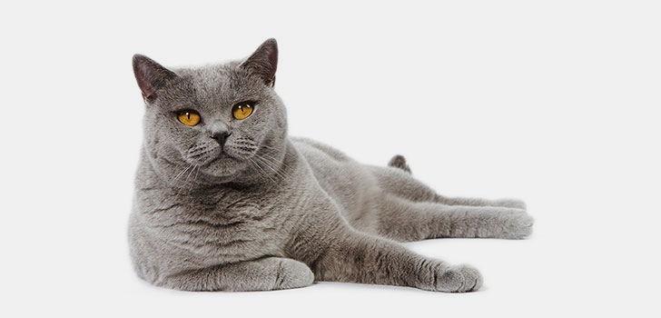 Британская короткошерстная кошка  для ребенка