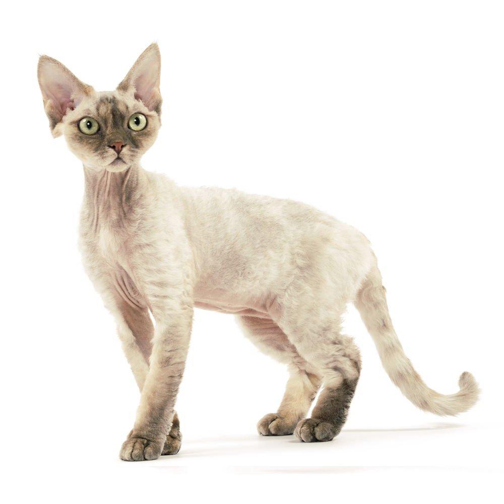 Девон-Рекс кошка для ребенка