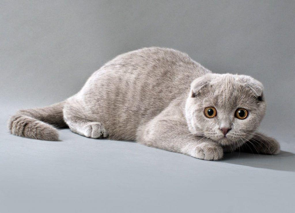 Шотландская вислоухая кошка для ребенка
